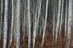 Osikowy las w wczesnej wiośnie Zdjęcia Stock