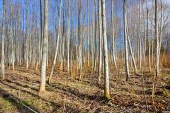 Osikowy las w wczesnej wiośnie Fotografia Stock