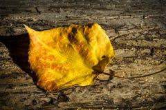 Osikowy liść przy zmierzchem Zdjęcia Stock