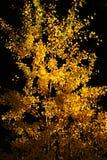 osikowy sapling Zdjęcie Royalty Free