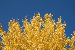 osikowy złoto Zdjęcie Stock