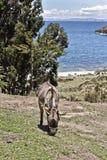 Osioł przed drzewami i jeziorem Droga i łódkowata wycieczka Isla de zdjęcie stock