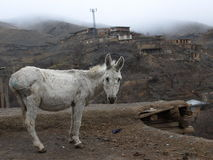 Osioł przy wioską Kanga, północno-wschodni Iran Zdjęcie Royalty Free