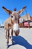 Osioł w Oatman, Arizona, Stany Zjednoczone obraz stock