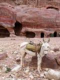 Osioł w Petra fotografia royalty free