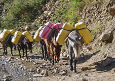 osioł karawanowe góry Nepal Obraz Royalty Free