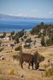 Osioł na Titicaca jeziorze fotografia stock