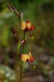 Osioł orchidea 2 (Diuris sp) Zdjęcia Stock