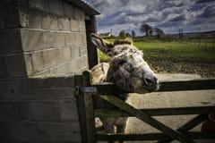 Osioł przy farmyard Obrazy Royalty Free