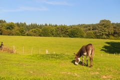 Osioł w polach Zdjęcie Royalty Free