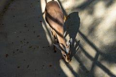 Osiris de los dorcas del Gazella de la gacela de los dorcas de Saharian en el parque zool?gico Barcelona imágenes de archivo libres de regalías
