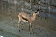Osiris de los dorcas del Gazella de la gacela de los dorcas de Saharian en el parque zool?gico Barcelona fotografía de archivo