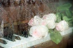Oskarp bild till och med vått exponeringsglas: gräns - rosa rosor ligger på pianotangentbordet Fotografering för Bildbyråer