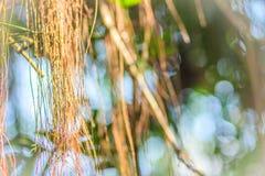 Oskarp luft rotar av banyanträd på den gröna sidabakgrunden Royaltyfri Foto