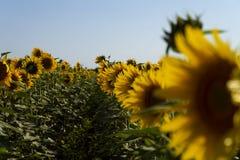 Oskarpt bildfält av solrosor med en bakgrund för blå himmel Royaltyfria Bilder
