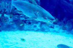 Oskarpt foto av ett stort havsakvarium med olika försäljningsvattenfiskar och korallrever arkivfoton