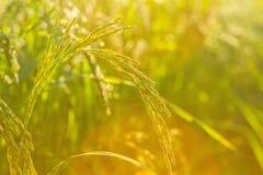 Oskarpt ljus av ris i fält på morgon tänder och blossar ljus Arkivfoto