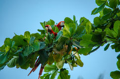 Oskrzydleni ara arony - Costa Rica Obrazy Stock