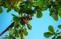 Oskrzydleni ara arony - Costa Rica Obrazy Royalty Free