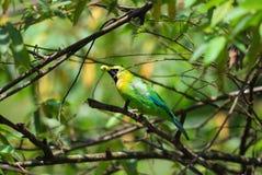 oskrzydlona leafbird błękitny samiec Fotografia Royalty Free