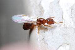 Oskrzydlona mrówka Obraz Royalty Free
