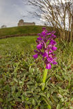 Oskrzydlona orchidea Podgórska - Włochy - Prunetto - zdjęcie stock