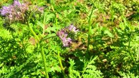 Oskrzydlona pszczoła wolno lata roślina, zbiera nektar dla miodu na intymnej pasiece zbiory