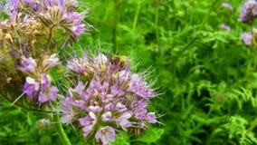 Oskrzydlona pszczoła wolno lata roślina, zbiera nektar dla miodu na intymnej pasiece zbiory wideo