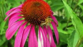 Oskrzydlona pszczoła wolno lata roślina, zbiera nektar dla miodu na intymnej pasiece zdjęcie wideo