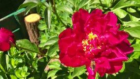 Oskrzydlona pszczoła wolno lata roślina, zbiera nektar dla miodu na intymnej pasiece od kwiatu zbiory