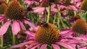 Oskrzydlona pszczoła wolno lata roślina, zbiera nektar dla miodu na intymnej pasiece od kwiatu zdjęcie wideo