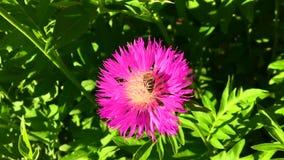 Oskrzydlona pszczoła wolno lata roślina, zbiera nektar dla miodu na intymnej pasiece od kwiatu zbiory wideo