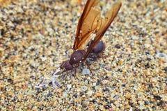 Oskrzydlone Męskie trutnia Leafcutter mrówki, makro- zakończenie w górę widoku, umiera na plaży po matować lot z królową w Puerto Obrazy Stock