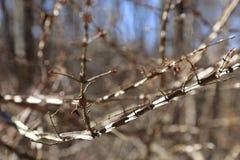 Oskrzydlone Płonącego Bush gałąź - Euonymus alatus Zdjęcie Royalty Free