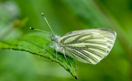 Oskrzydlony biały motyl Obrazy Royalty Free