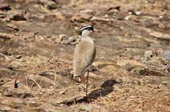 Oskrzydlony courser ptak Widok behind Obrazy Stock