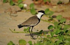 Oskrzydlony czajka ptak Fotografia Stock