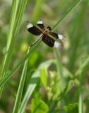 oskrzydlony czarny dragonfly Obrazy Royalty Free