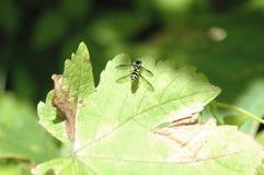 Oskrzydlony insekt obrazy royalty free