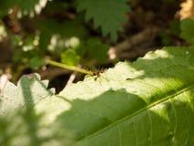 Oskrzydlony latającego insekta wielki makro- odpoczywać na lasowego liść Zdjęcie Royalty Free