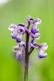 Oskrzydlony orchidea portret Fotografia Royalty Free
