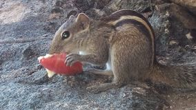 Oskyldig ekorre som äter ett äpple royaltyfri foto