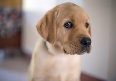 Oskyldig labrador royaltyfri foto