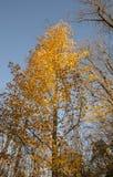 Oslo - żółty drzewo Obrazy Stock