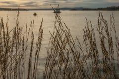 Oslo-fjord, guld- vatten av fjorden och någon vass på kusten Royaltyfri Bild