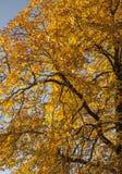 Oslo - un árbol por completo de las hojas del amarillo contra un cielo azul Foto de archivo