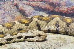 Osmaneviper (Vipera xanthina) Stockfotografie