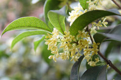 Free Osmanthus Royalty Free Stock Image - 16394136