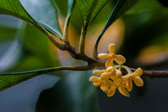 Macro osmanthus. Osmanthus, also known as `Laurel`, `Melilotus`, evergreen shrubs or small trees; leaves opposite, mostly oval or long oval, smooth foliage Stock Photos