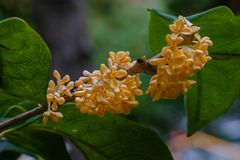 Macro osmanthus. Osmanthus, also known as `Laurel`, `Melilotus`, evergreen shrubs or small trees; leaves opposite, mostly oval or long oval, smooth foliage Stock Photography